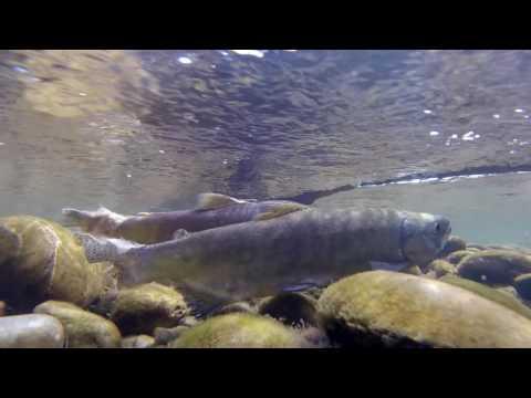 Sockeye Salmon spawning in the Twizel River