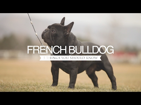 FRENCH BULLDOG FIVE THINGS YOU SHOULD KNOW