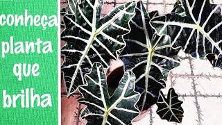 Alocasia – Dicas e Cuidados desta planta de meia-sombra
