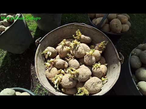 Пашем землю, сажаем картошку! Как мы картошку готовим к посадке?