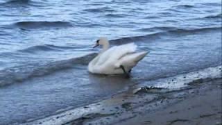 Про лебедя