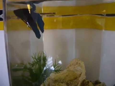 Poisson combattant chez a zen massages cannes for Nourriture pour poisson combattant
