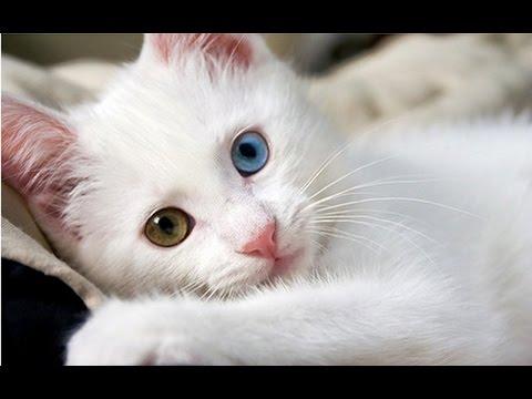 Die trkische Van-Katze