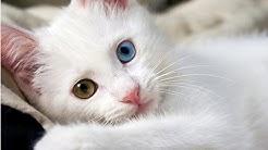 Die türkische Van-Katze