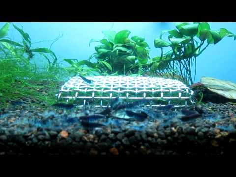 My Blue Tiger Shrimps Colony