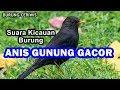 Suara Kicauan Burung Anis Gunung Atau Anis Gading Gacor Cocok Buat Masteran Ngriwik(.mp3 .mp4) Mp3 - Mp4 Download