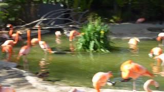 2010 San Diego Zoo Flamingo Video5