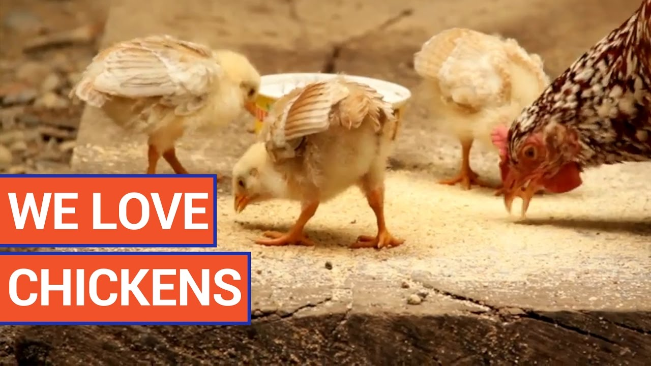 Amazing Chickens Video Compilation 2016