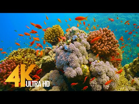 Under the Red Sea 4K - Incredible Underwater World - Relaxation Video with Original Sound (NO LOOP)