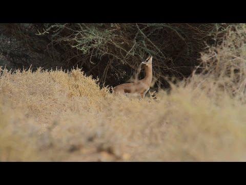 Dorcas Gazelle צבי הנגב