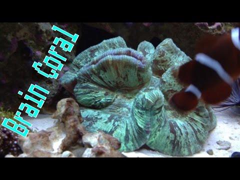 Brain Coral Care Guide