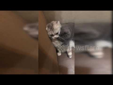 Enthusiastic Scottish fold cat desperately tries to gain the attention of his feline friend