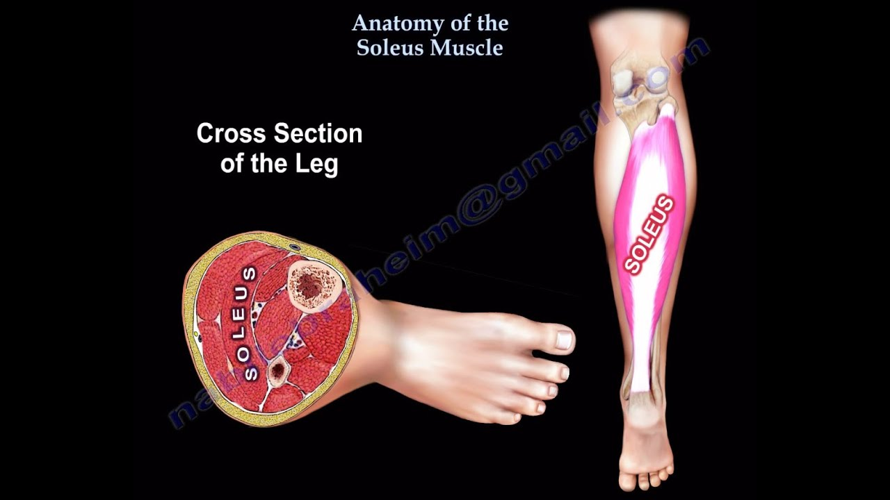 Anatomy Of The Soleus Muscle - Everything You Need To Know - Dr ...