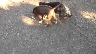 German Shepherd Vs Pit Bull  (puppies Play Fight)