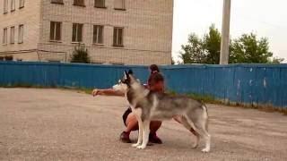 видео Выставка собак хаски