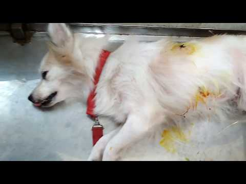 Surgery for a Spitz Dog @ Vet in Dhaka City @ Dr. Sagir's Pet Clinic 01912251312
