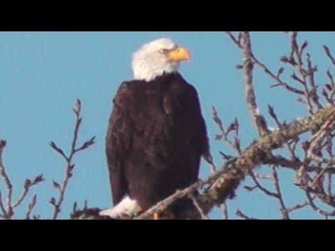 American Bald Eagle Pair Walterville, Oregon (12/2013)