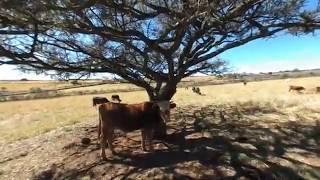 Vacas en realidad virtual Episodio #23