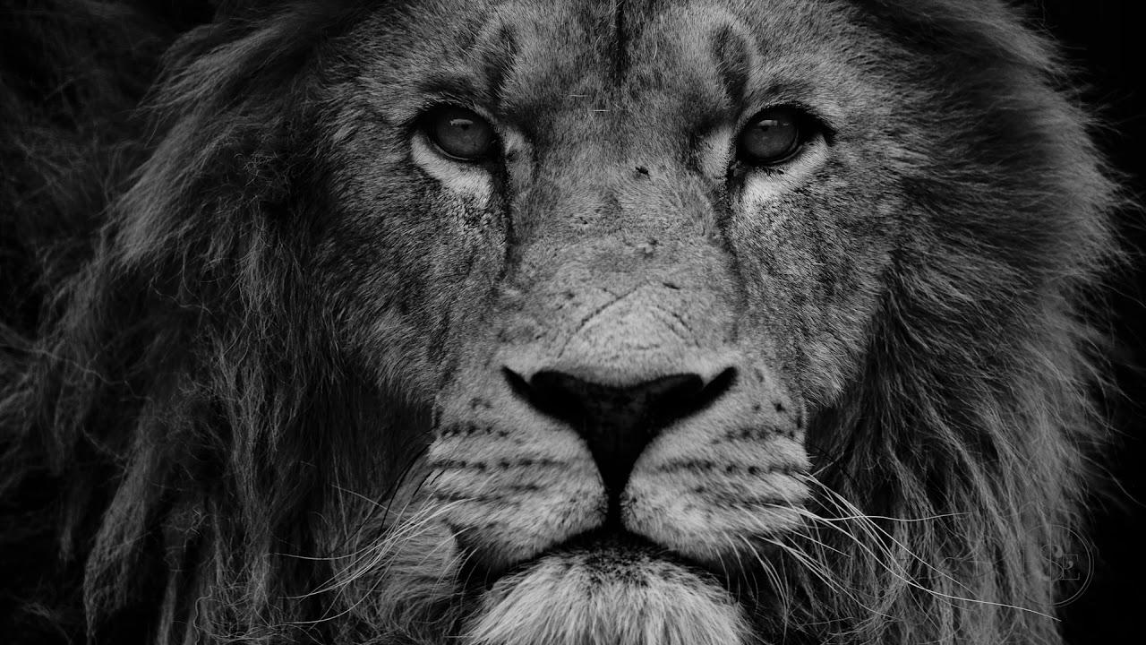 тому стали черно белые картинки льва на аву купания