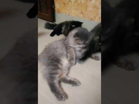 Cats funny video simba...ballu amd bagheera  playing tym
