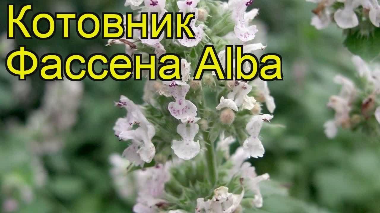 Размножается котовник семенами или вегетативно делением куста. Котовник закавказский (nepeta transcaucasica), котовник фассена (nepeta.