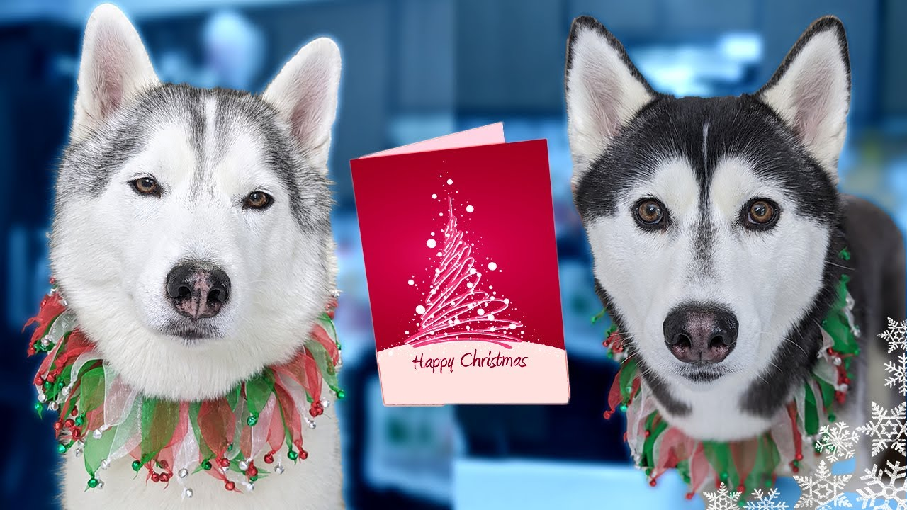 Our Huskies Send YOU Christmas Cards 🎄 How to Get One!
