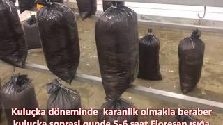 Plastik Torbada İstiridye Mantarı nasıl yetiştirilir