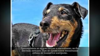 Маленькие породы собак  Немецкий ягдтерьер