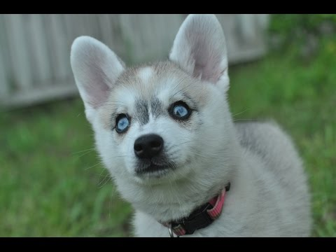 Baby Alaskan Klee Kai Puppies Bouncing