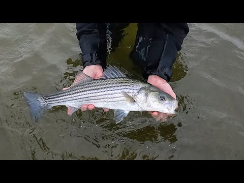 My First Striper Of The Spring | April 26th, 2020