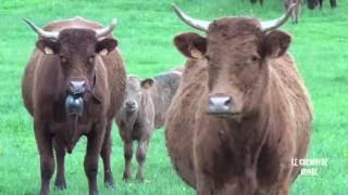 La Vache Salers - Race Rustique d'Origine Auvergnate
