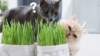 고양이를 위해 귀리를 재배했어요. 제발 먹어줘...