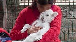 🐅 #RuthlessTrade 💰: Eingesperrte Tiger. Tiere zweiter Klasse.  | VIER PFOTEN | www.vier-pfoten.at