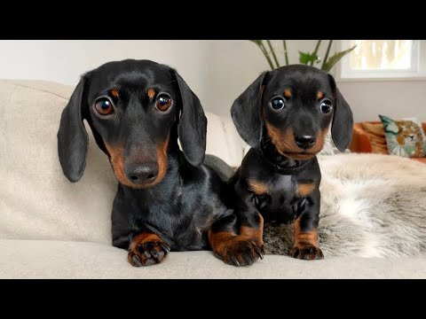 This is dachshund puppy 'Tank' the firstborn.