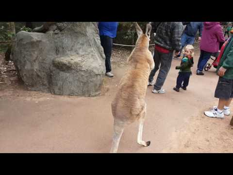 Kangaroo wants to fight! (Video 1)