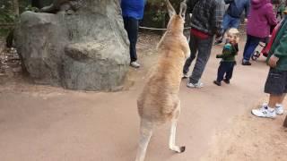 Kangaroo wants to fight! (Video 1)