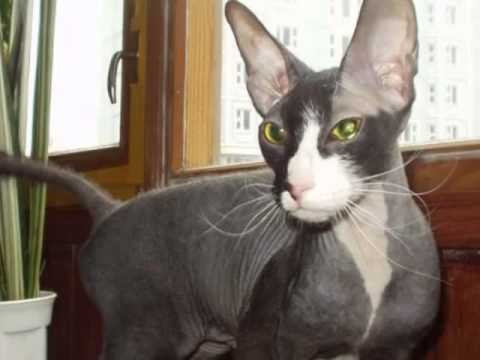 Петербургский сфинкс: характеристика кошек породы петерболд