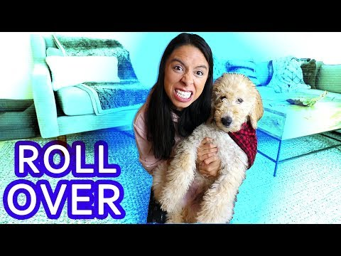 Train Your Dog to Roll Over - FAST! Tips with my Goldendoodle Puppy