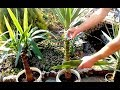 How to grow Yucca plants from cuttings