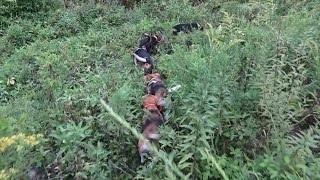 Skyview's Beagles Testing Grounds For Northern Wv Beagle Club Aug 25 2015