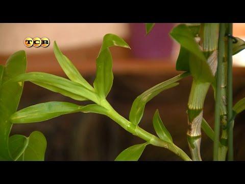 Пересадка дендробиума - Цветочная лавка