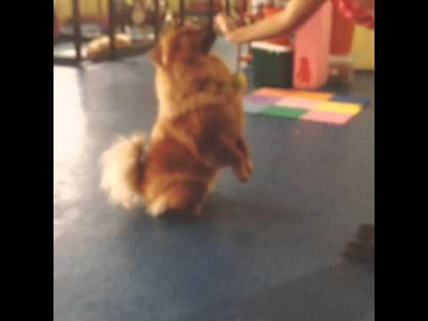 Adestramento Chow Chow Lee - Day Care Dog World