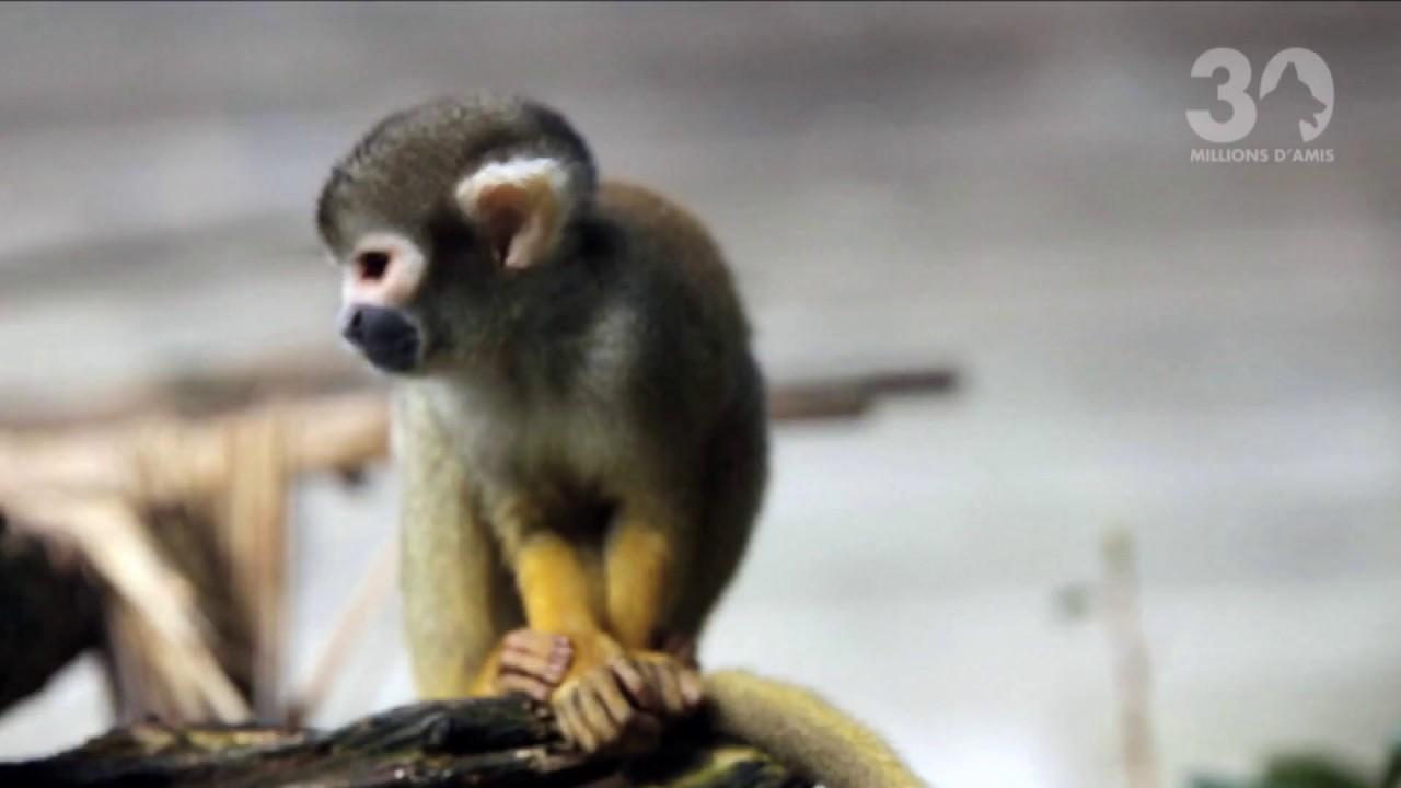 Le singe en voie de disparition cause de l 39 homme youtube - Le singe d aladdin ...