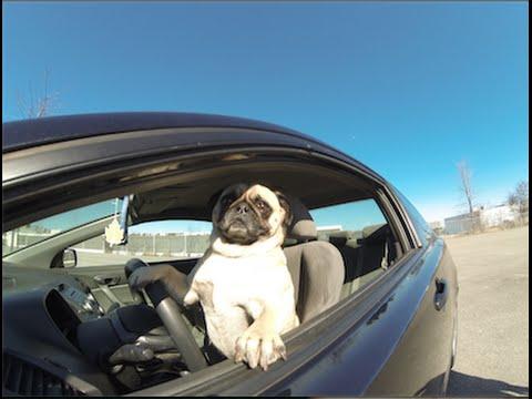 Pug Races Honda Civic (Atom The Pug)
