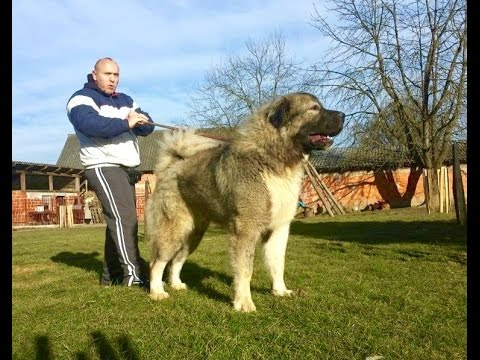 JOZO DOGS - Don Bizon -1 year old