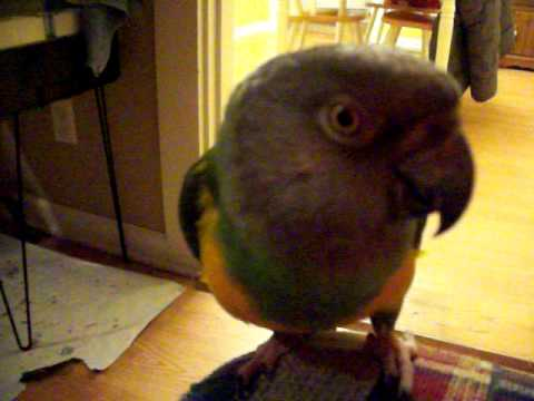 My Senegal Parrot Zoe Singing And Whistling And Talking.