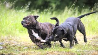 Staffordshire Bullterriers Playing In Norway 2