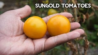 Sungold Tomato - Growing One Of The Most Delcious Tomatoes!