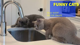 [4K]Funny Cats video,2 British Shorthair Cats curious about water, happy cat life, pet vlog