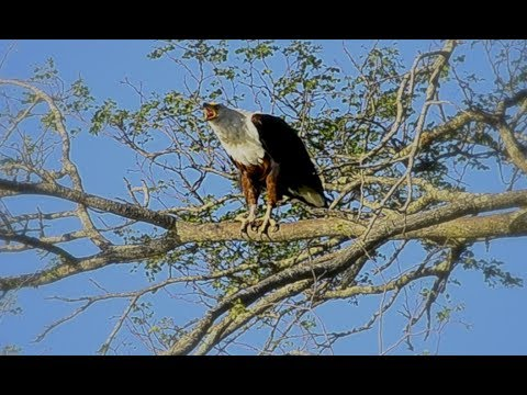 African Fish Eagle calling‎